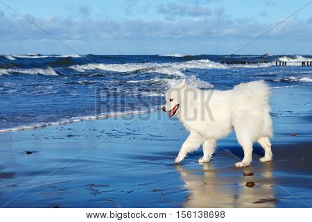 White dog Samoyed playing near the sea in Sunny day