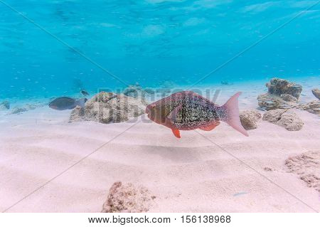 Grey Red Parrotfish In Shallow Water, Maldives