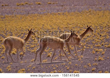 Herd of vicugnas (Vicugna vicugna) running on the grass.