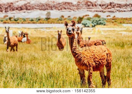 Llamas In Plain Of Argentina With Mountains Of Background