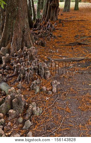 Swamp Cypress (taxodium Distichum) 'knees'