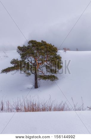 lonely pine tree on a snow slope