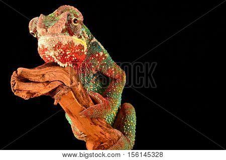 wild colorful camoflauge chameleon lizard on limb