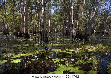 mary river floodplains with water lilies