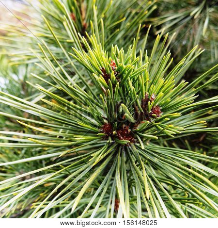 Green pine, Maritime pine, pine cone, pine branch, Christmas pine branch