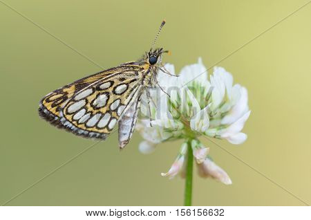 Large Chequered Skipper (Heteropterus morpheus), closeup nature photo