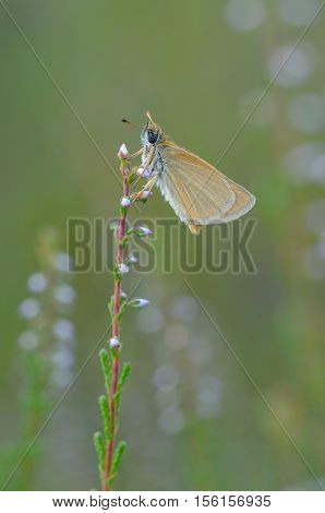 European skipper (Thymelicus lineola), closeup nature photo