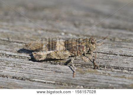 blue-winged grasshopper - Oedipoda caerulescens, closeup nature photo