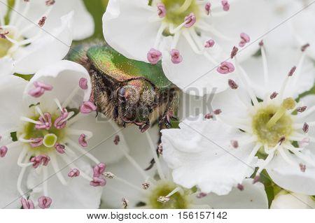 green rose chafer Cetonia aurata, closeup nature photo