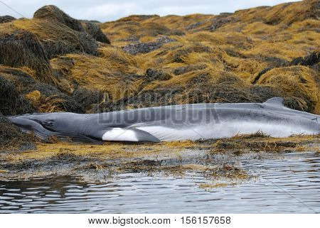 Whale beached in Casco Bay Maine as a result of a fishing net.