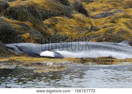 Whale deceased on a reef in Casco Bay Maine.