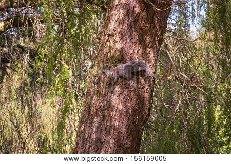 Animals in wildlife. Amazing picture of beautiful squirrel sitting on a high tree with green leaves