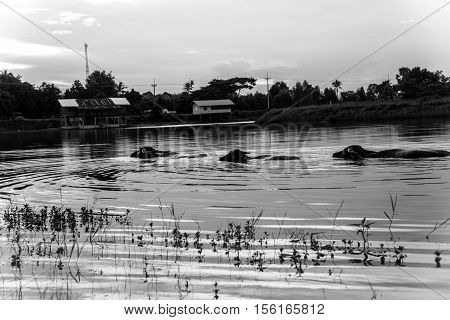 The domestic buffalo hides in river from heat on sunset