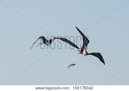 Frigate Bird While Fighting For A Fish Catch