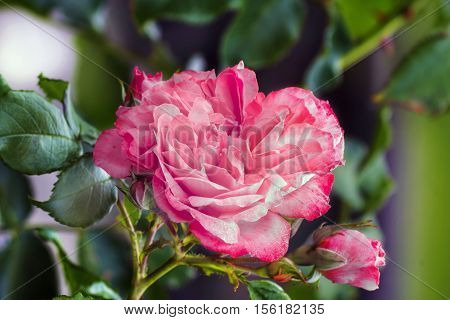 Close view of pink roses blossoms .