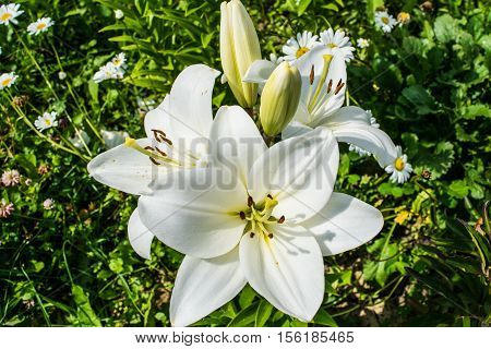 White lily blooming in a garden close up