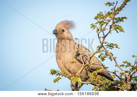 Go-away-bird Sitting On A Branch.