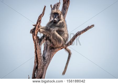 Chacma Baboon Sitting On A Tree.