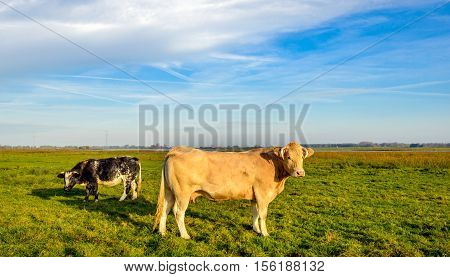 Light brown cow with horns standing in a Dutch nature reserve in low evening sunlight on a nice day in the autumn season. In the background a black spotted cow is grazing.