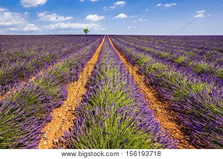 Lavender fields in Valensole with an olive tree. Summer in Alpes de Hautes Provence, Southern French Alps, France