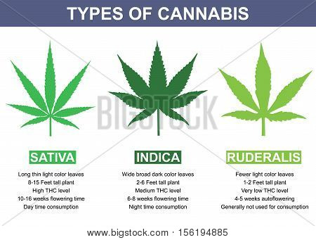 Types of Cannabis vector infographic illustration design