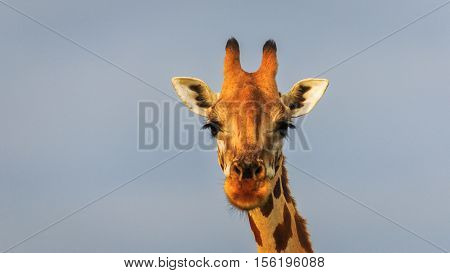 Beautiful eye lashes and attentive ears of Rothschild's Giraffe