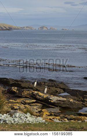 Magellanic Penguins (Spheniscus magellanicus) coming ashore on Carcass Island in the Falkland Islands.