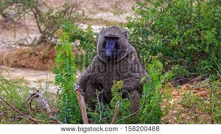 Baboon monkey sitting in road side thicket in Murchison Falls National Park