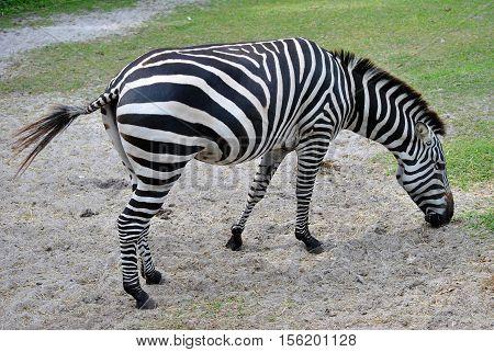 Grant's zebra Latin name Equus burchelli boehmi