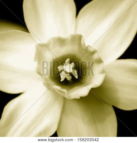 Yellow narcissus in duotone taken from above