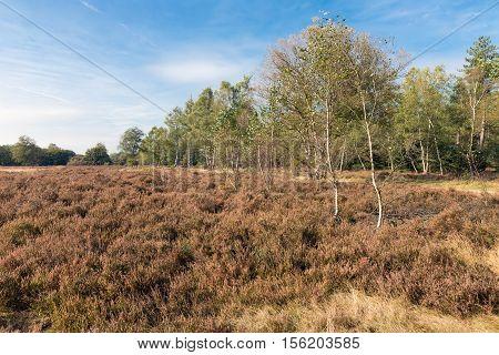 Big Heath field of Dutch National Park Veluwe