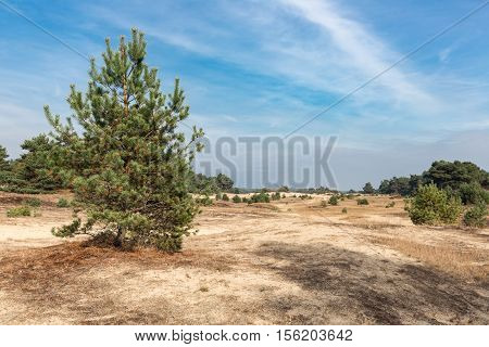 Sand drifts with lonely trees at Dutch National Park Veluwe
