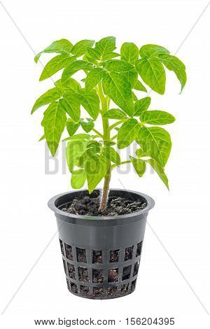 Young Seedling Of Fresh Green Tomatoes In Flower Pot Is Isolated On White Background, Close Up