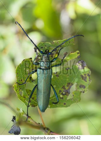 Musk beetle Aromia moschata, closeup nature photo