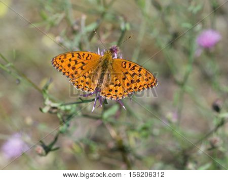 Silver-washed fritillary (Argynnis paphia), closeup nature photo