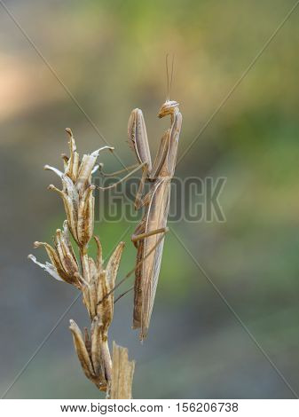 European mantis (Mantis religiosa), closeup nature photo