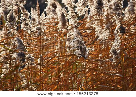 Common reed. Beautiful natural background with the sun. (Phragmites australis)