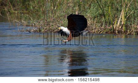 African fish eagle catching fish in Okavango Delta in Botswana.