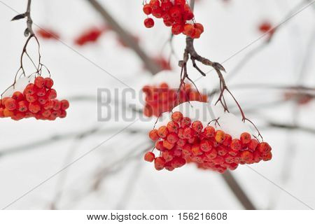 sheaf or bunch of red berries of a mountain ash closeup is covered with white snow