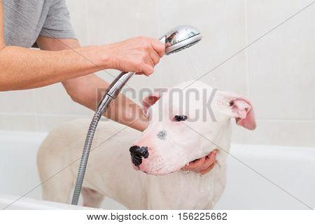 Bubble Bath a lovely dog dogo argentino