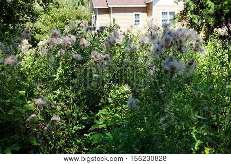 The seed heads of creeping thistle plants (Cirsium arvense), also called the Canada thistle, in a yard in Harbor Springs, Michigan during August.