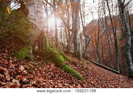 Root Of Tres With Moss On Autumn Forest With Sunset