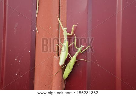 Mantis On Red Fence. Mating Mantises. Mantis Insect Predator.