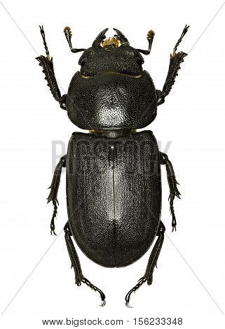 Lesser Stag Beetle on white Background - Dorcus parallelipipedus (Linnaeus 1758)