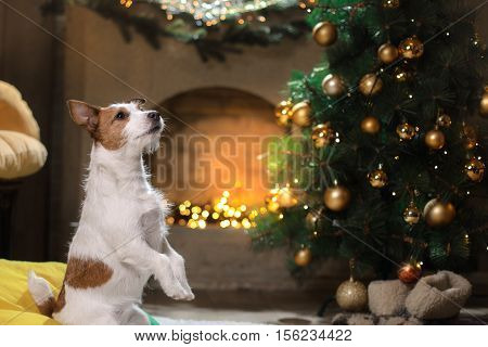 Jack Russell Terrier Dog. Christmas Season 2017, New Year,