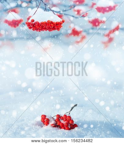 Winter background. Winter landscape with snow-covered bright red rowan.