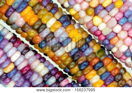 macro view of glass gem ears unique variety of rainbow colored corn