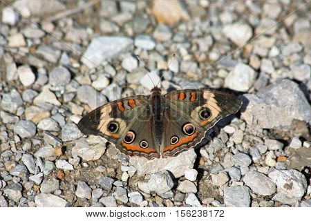Common buck-eye butterfly with wings spread showing lovely colors of black, orange, white with stripes and spots, sitting on white gravel on the ground.