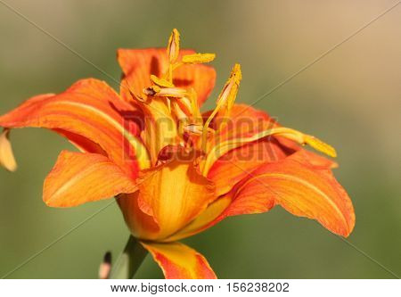 A single yellow and orange daylily bloom with emphasis on the stamen on light green background.