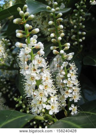 Macro photo of a beautiful white spring flowers of fruit trees in the garden for design, print and photo shop